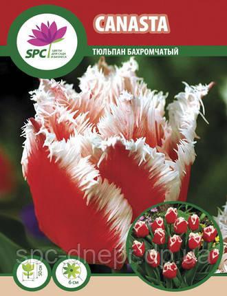 Тюльпан Canasta
