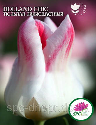Тюльпан Holland Chic, фото 2