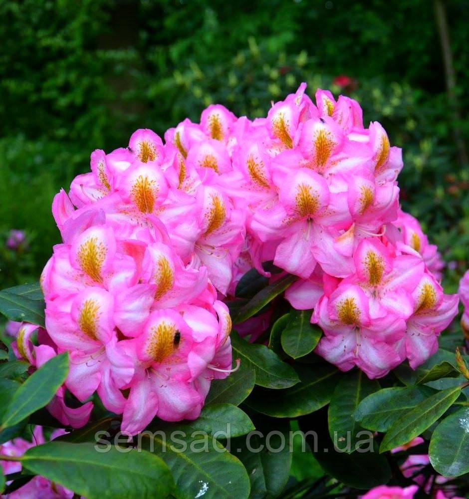 Рододендрон Вечнозеленый «Аркадиус» \ Rhododendron Arkadius ( саженцы 3 года)