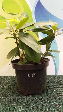 Рододендрон Вечнозеленый «Аркадиус» \ Rhododendron Arkadius ( саженцы 3 года), фото 2
