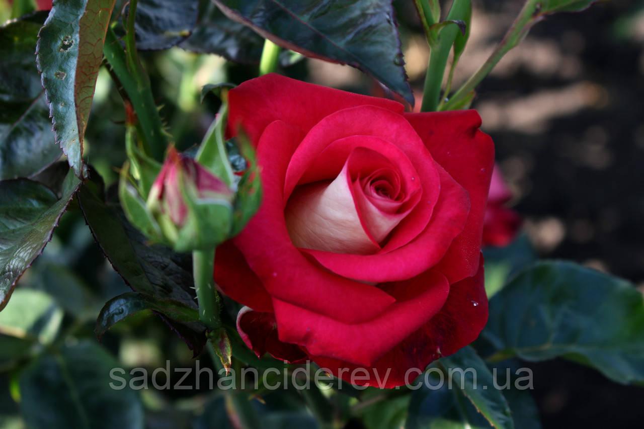 Саджанці троянд  Френдшіп (Friendship)