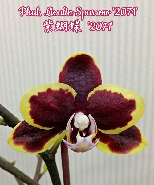 """Орхидеи. Сорт Phal. Lioulin Sparrow '2071', размер 2.5"""" без цветов"""