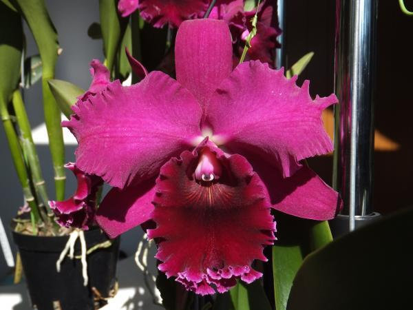 """Орхидеи каттлеи Сорт Rth. Chialin Black Flower, подростки без цветов, горшок 2.5"""""""
