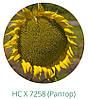 Семена подсолнечника Раптор нсх 7258 стойкий к 7 рас заразихи A-G, среднеранний 105 дн, фото 3