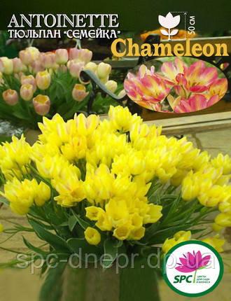 Тюльпан Antoinette, фото 2
