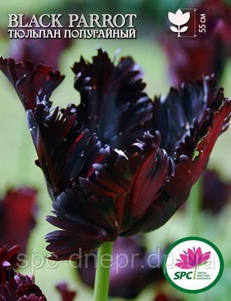 Тюльпан Black Parrot, фото 2