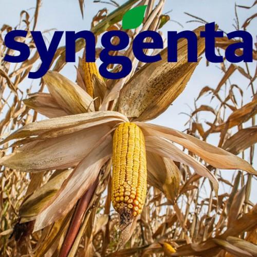 Семена кукурузы НК Кобальт Сингента