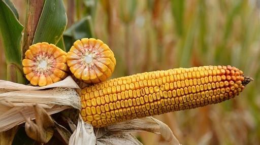 Семена кукурузы СИ Чоринтос Сингента
