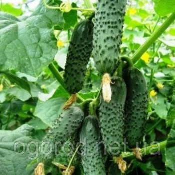 Чайковський 10 шт насіння огірка Rijk Zwaan, Голландія