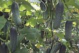 Чайковський 10 шт насіння огірка Rijk Zwaan, Голландія, фото 3