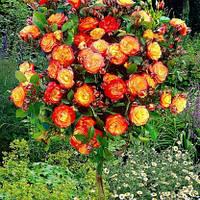 Саженцы Розы Румба штамбовая