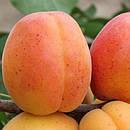 Ранні сорти персика