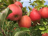 """Саджанці яблуні """"ЧЕМПІОН"""""""