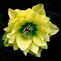 Морозник Orientalis Yellow Double, рассада.