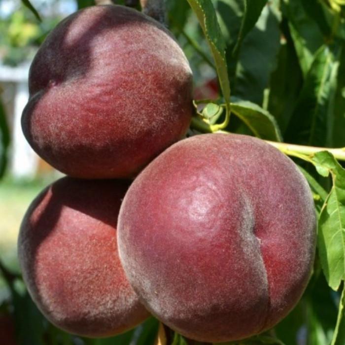 Саженцы персика сорт Роял Маджестик