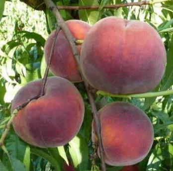 Саженцы персика сорт Роял Гри