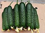 Спино F1 10 шт насіння огірка Syngenta Голландія, фото 2