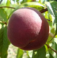 Саженцы персика сорт Ред Робин