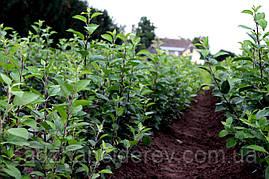 Підщепа яблуні (подвой) ММ 106 (І-сорт)