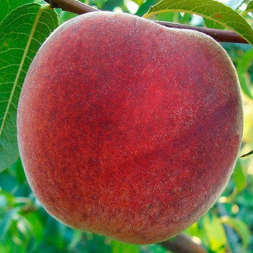 Саженцы персика сорт Фрост