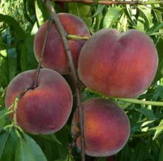 Саженцы персика сорт Рич Мей