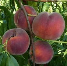 Саджанці персика сорт Річ Мей