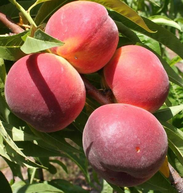 Саженцы персика сорт Саммер Рич