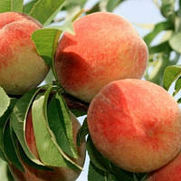 Саженцы персика сорт Сан Крест