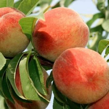 Саженцы персика сорт Сан Крест, фото 2