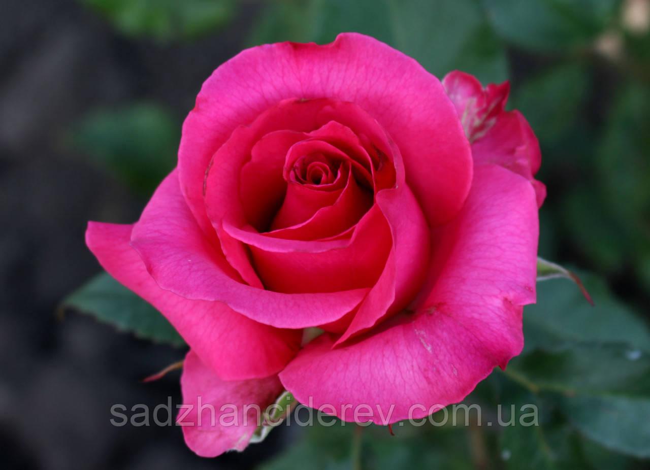 Саджанці троянд Топаз  (Topaz)