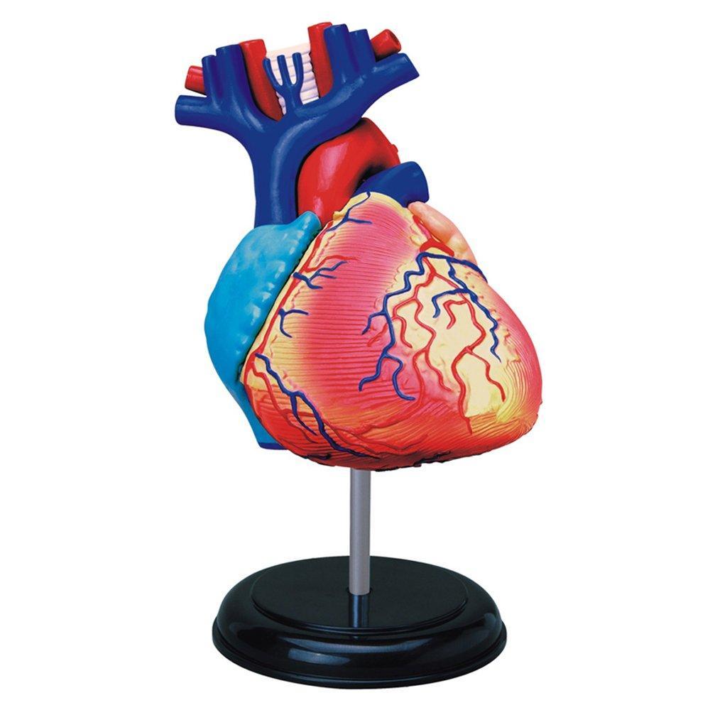"""Демонстрационная модель """"Анатомия человека. Сердце"""" Learning Resources"""