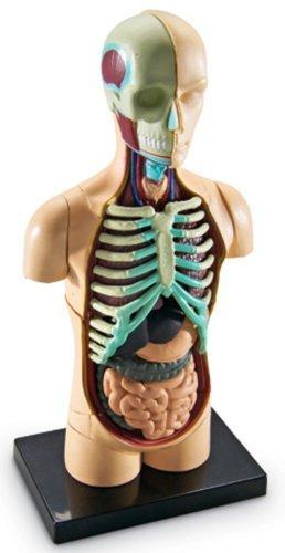 """Демонстрационная модель """"Анатомия человека. Система органов"""" Learning Resources"""