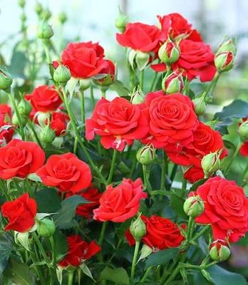 """Троянда спрей """"Ред Мікадо"""""""