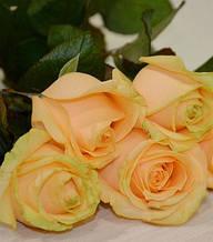 "Троянда ч/г ""Піч Аваланш"""