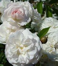 "Троянда Віхури ""Swany"""
