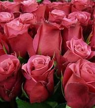 """Троянда ч/г """"Черри О"""""""