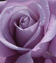 """Троянда ч/г """"Шарль де Голль"""""""