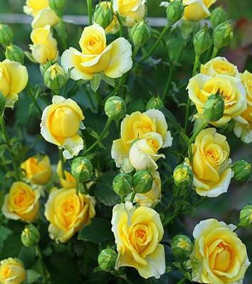 """Троянда спрей """"Сан Сіті"""""""