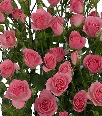 "Троянда спрей ""Грация"""