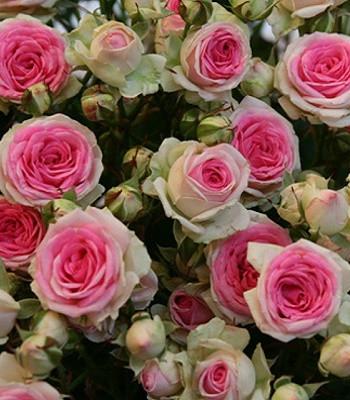 """Троянда спрей """"Мімі Еден"""""""