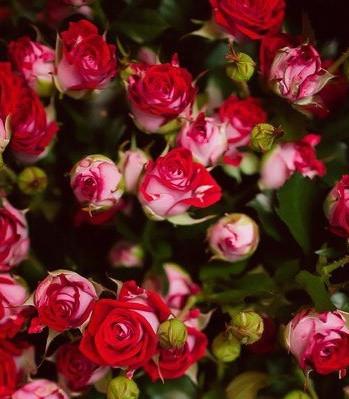 """Троянда спрей """"Рубі Стар"""""""
