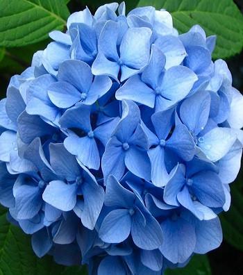 Гортензія голуба