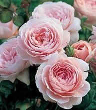 """Троянда англійська """"Queen of Sweden"""""""