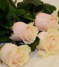 """Троянда ч/г """"Талея"""""""