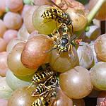 Как спасти виноград от града и ос