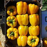 Семена перца сладкого Соланор F1 (1000 сем.) Clause, фото 2