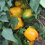 Семена перца сладкого Соланор F1 (1000 сем.) Clause, фото 3