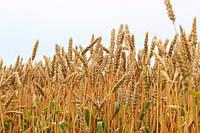 Семена озимой пшеницы НС Футура (1 репродукция)