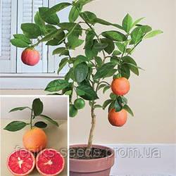 Грейпфрут (не требует прививки) - укоренённый черенок