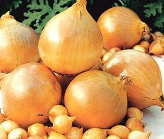 Особенности выращивания лука сорта Шекспир